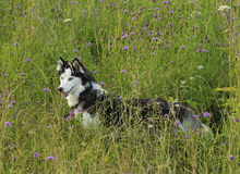 The Siberian Husky Royalty Free Stock Images