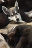 Siberian husky Stock Images