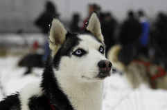 The Siberian Husky. It is a medium-size dog, dense-coat working dog breed that originated in eastern Siberia Stock Photos