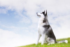 Siberian husky Royalty Free Stock Images