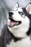 Siberian Husky Royalty Free Stock Images