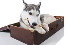 Siberian Husky. In the bag Royalty Free Stock Photo