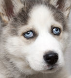 Siberian husky Stock Photography