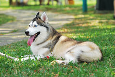 Siberian Husky. A photo taken on a well groomed siberian husky dog at a park royalty free stock photography