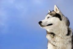 Siberian husky Stock Photos