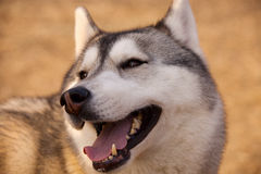 Siberian husky. She is my friend Stock Photo