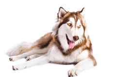 Siberian Husky. In front of a white background royalty free stock photos