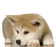 Free Siberian Husky Stock Photography - 2765002