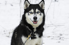 The Siberian Husky Royalty Free Stock Photos