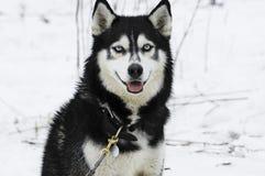 The Siberian Husky Royalty Free Stock Photos