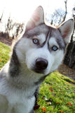 Siberian husky. A portrait of a siberian husky on a bright, sunny day Stock Image