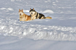 Siberian husky. In a field of snow on a winter day Royalty Free Stock Photo