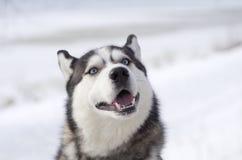 Siberian husky Arkivfoton
