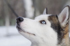 Siberian husky Royaltyfria Foton