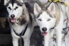 Siberian husky Royaltyfri Bild