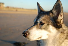 Siberian Husky. Dog on beach looking out past camera royalty free stock image