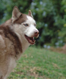 Siberian husky. In the park Royalty Free Stock Image