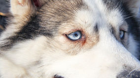 Siberian husky. Pet dog love sexy close up blue eyes Stock Photo