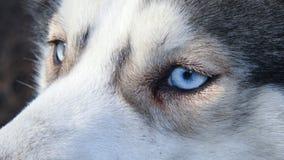 Siberian husky. Pet dog love sexy close up blue eyes Stock Images