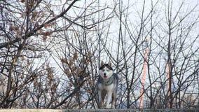 Siberian husky. Pet dog love sexy close up blue eyes Stock Photography