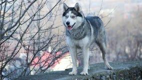 Siberian husky. Pet dog love sexy close up blue eyes Royalty Free Stock Images