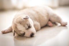 Free Siberian Husky Royalty Free Stock Images - 46159779