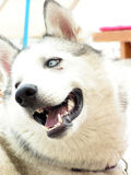 Siberian Husky. Nice looking Siberian Husky portrait Stock Photos