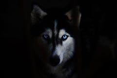 Free Siberian Husky Royalty Free Stock Image - 48281766