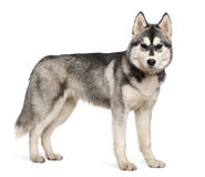 Siberian husky, 6 months old. Standing in front of white background stock image