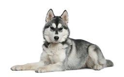 Siberian husky, 6 months old, lying Royalty Free Stock Photo