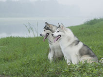 Free Siberian Husky Royalty Free Stock Photo - 6788265