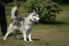 Siberian Husky. ,blowmobile dog. strong Stock Images