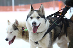 Siberian Husky and Alaskan Malamute in a harness. Stock Photos