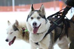Siberian Husky and Alaskan Malamute in a harness. Stock Photos