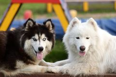 Siberian Husky and Alaskan Malamute Royalty Free Stock Photography