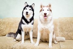 Animal dog at home. Siberian husky in the apartment on the couch Royalty Free Stock Photo