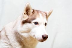 Animal dog at home. Siberian husky in the apartment on the couch Stock Photos