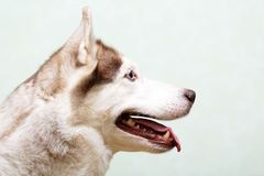 Animal dog at home. Siberian husky in the apartment on the couch Stock Photo