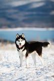Siberian husky 2 Stock Photo