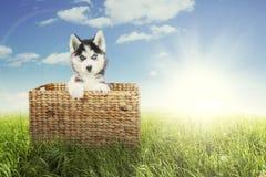 Siberian husky with basket on meadow Stock Image