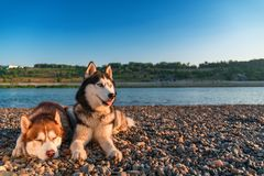 Siberian husky on the beach. Landscape of warm summer evening with beautiful husky dogs. Copy space stock images