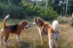 Siberian Husky with beagle at the green grass Stock Photography