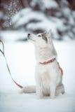 Siberian husky Royalty Free Stock Image