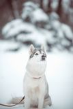Siberian husky Royalty Free Stock Photo