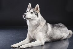 Siberian husky Royalty Free Stock Photos