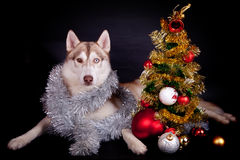 Siberian husky on the black background Royalty Free Stock Photos