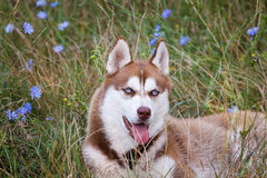 Siberian Husky with blue eye at the green grass Royalty Free Stock Photography