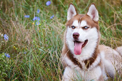 Siberian Husky with blue eye at the green grass Stock Photo