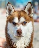 Siberian Husky with blue eye Royalty Free Stock Photo
