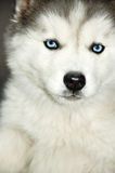 Siberian Husky blue eyes Royalty Free Stock Photos
